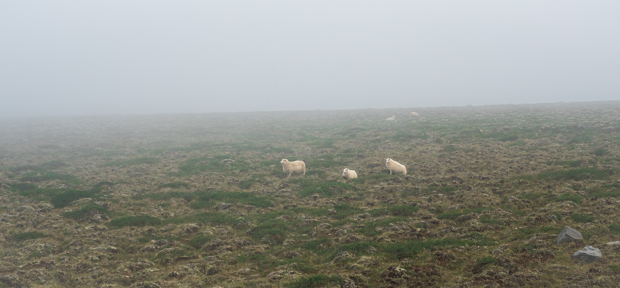 owce islandia